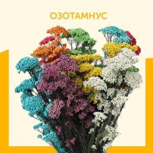 Озотамнус